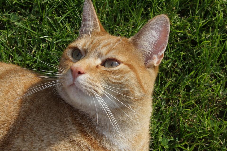 Cat, Eyes, Domestic Cat, Cat's Eyes