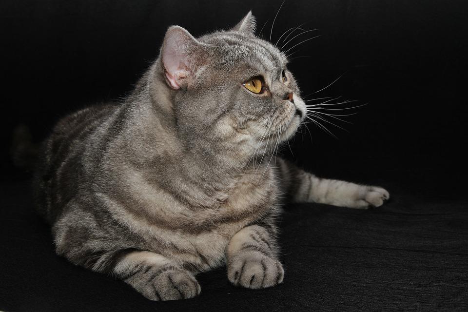 Cat, British Shorthair, Pet, Domestic Cat, Fur