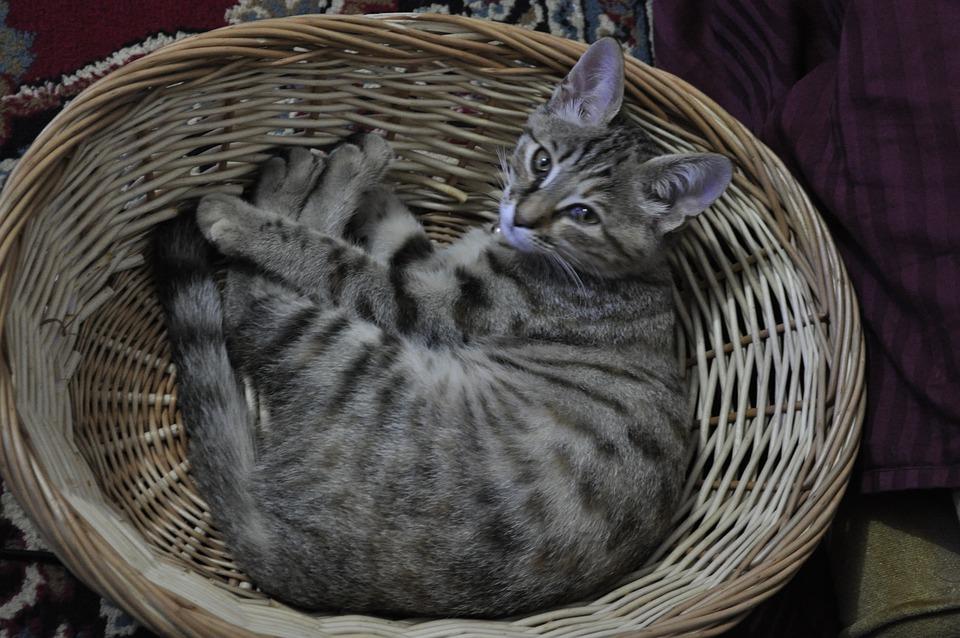 Kitten, Basket, Cat, Cute, Domestic, Young