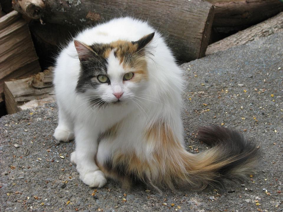Domestic Cat, Felis Catus, Elizabeth Taylor, Moneymore