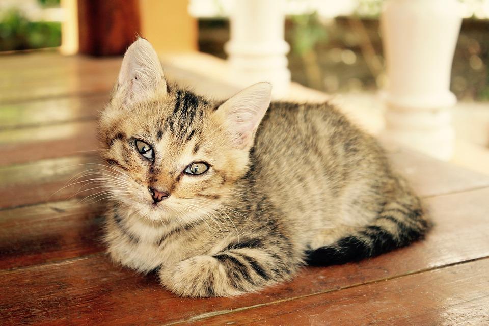Free Photo Domestic Cat Kitten Cat Baby Pet Cute Cat Animal Max Pixel