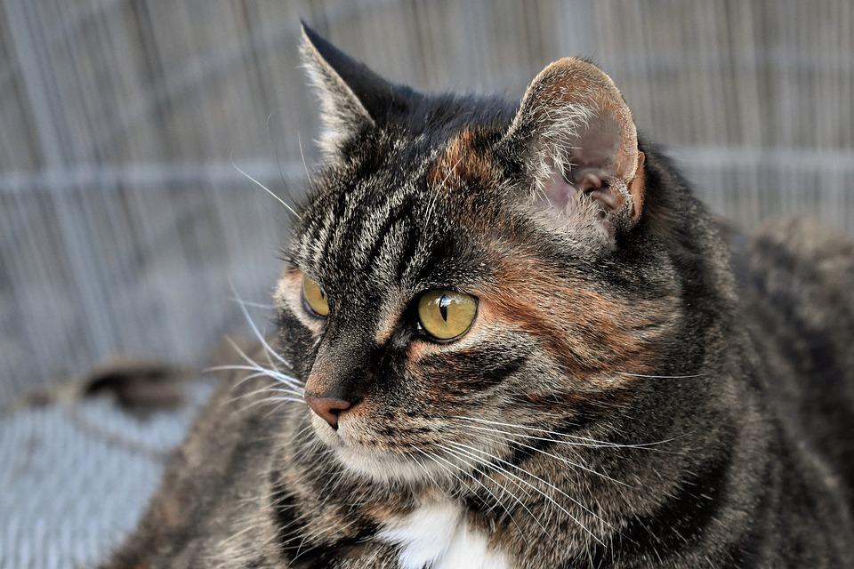 Cat, Animal, Mackerel, Pet, Portrait, Domestic Cat