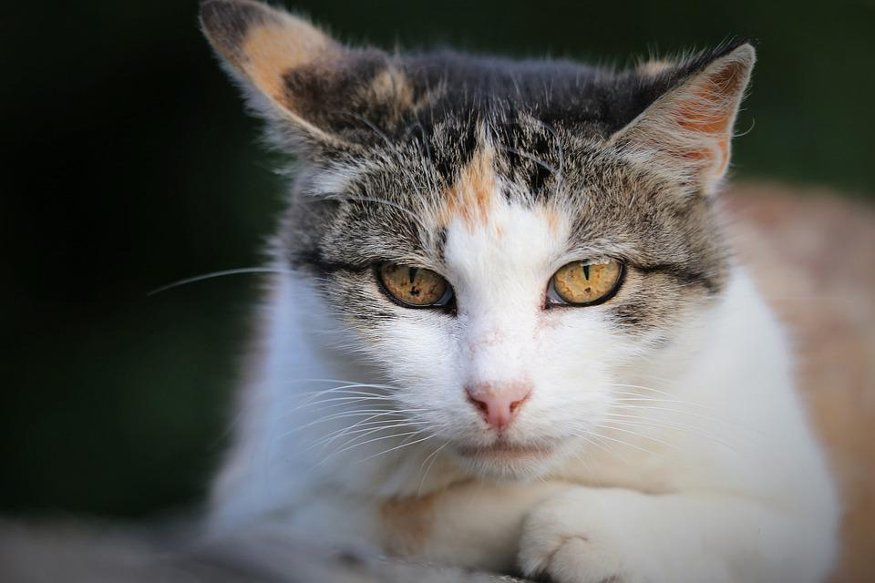 Domestic Cat, Animal, Head, Cute, Eyes, Nature, Outdoor