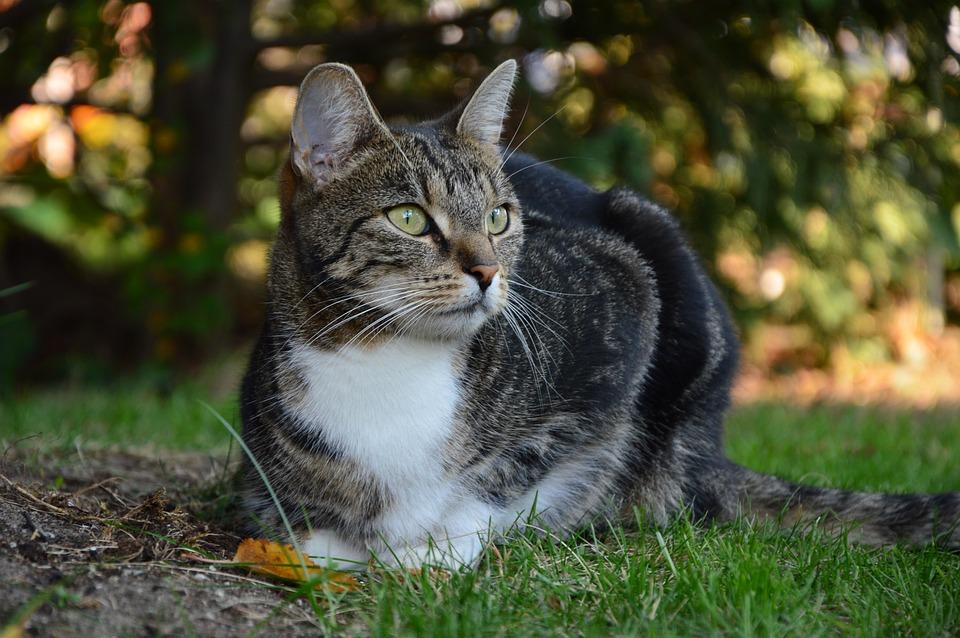 Cat, Kitten, Animal, Pet, Domestic Cat, Animal World