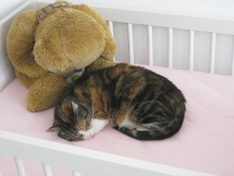 Cat, Young Cat, Pet, Domestic Cat, Cute Cat, Cat Teddy