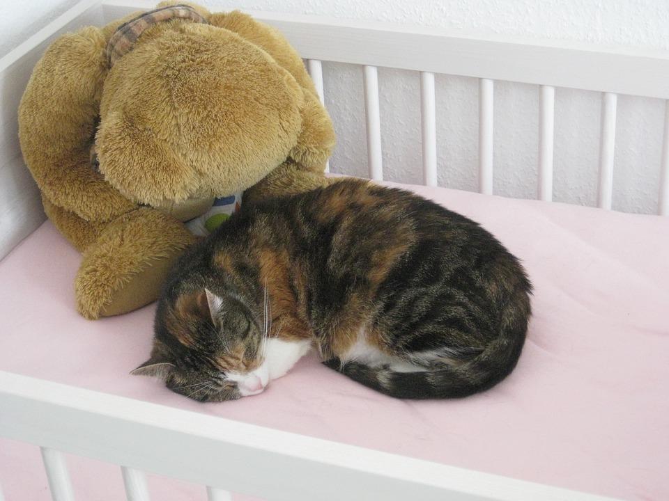 Cat, Young Cat, Pet, Domestic Cat, Cute Cat, Cat Teddy