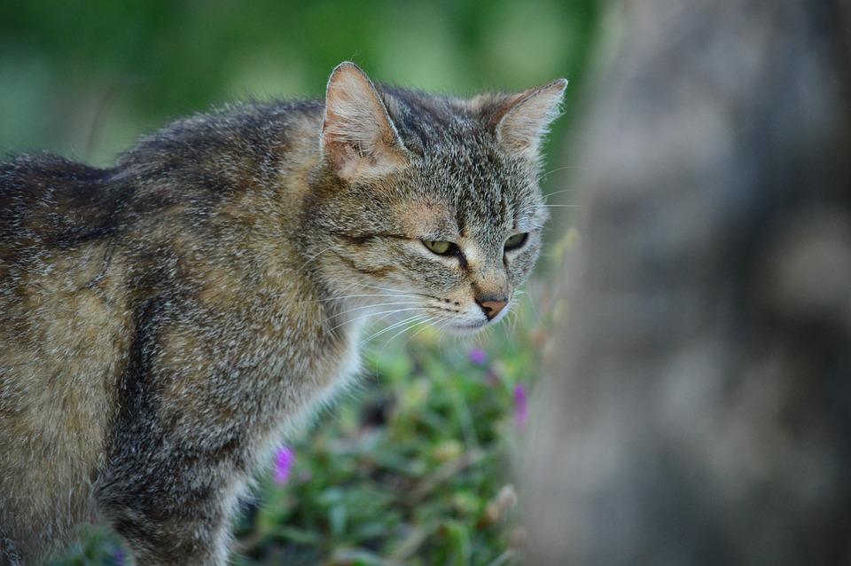 Cat, Feline, Pet, Domestic Cat, Calico Cat, Felina