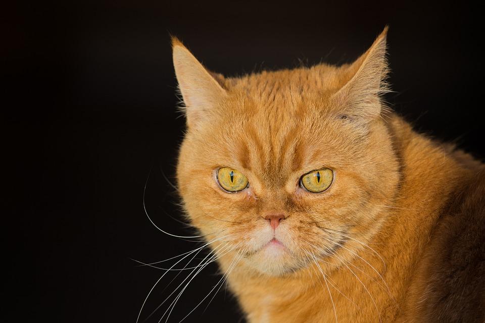 Cat, Red, Pet, Domestic Cat, Cat's Eyes, Kitten