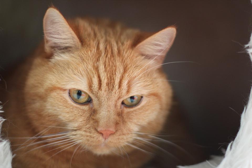 Cat, Red Cat, Pet, Domestic Cat, Red Mackerel Tabby