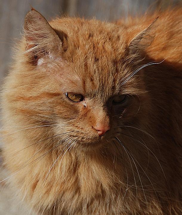 Cat, Red, Domestic Cat, Close