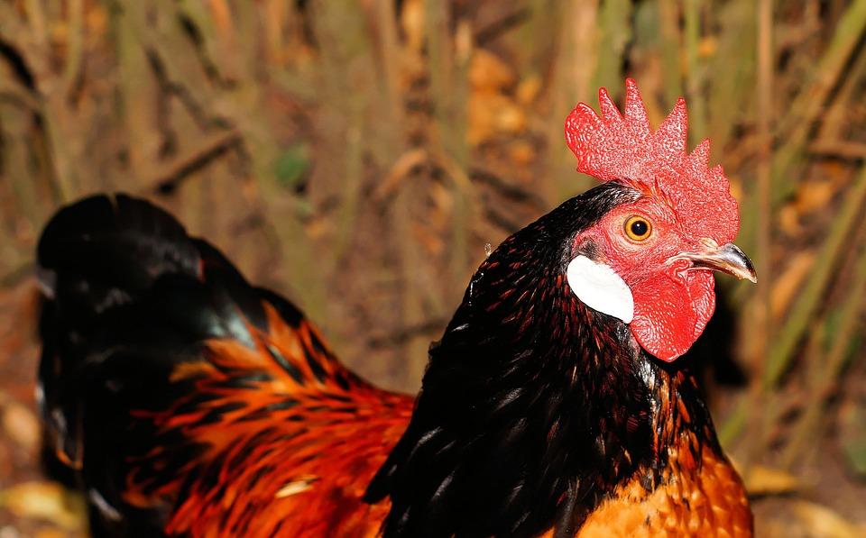 Hahn, Domestic Chicken, Pride, Red Ridge