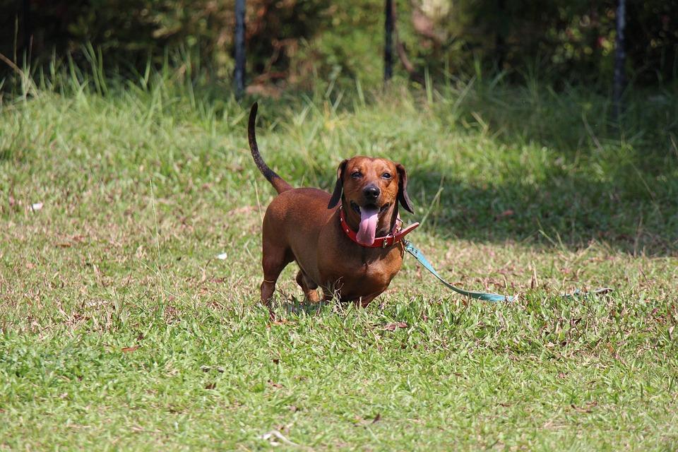 Saesoe, Dachshund, Dog, Pet, Animal, Domestic, Pedigree