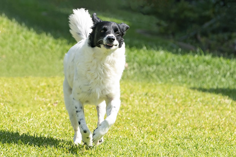 Dog, Pet, Running, Animal, Domestic Dog, Canine, Mammal