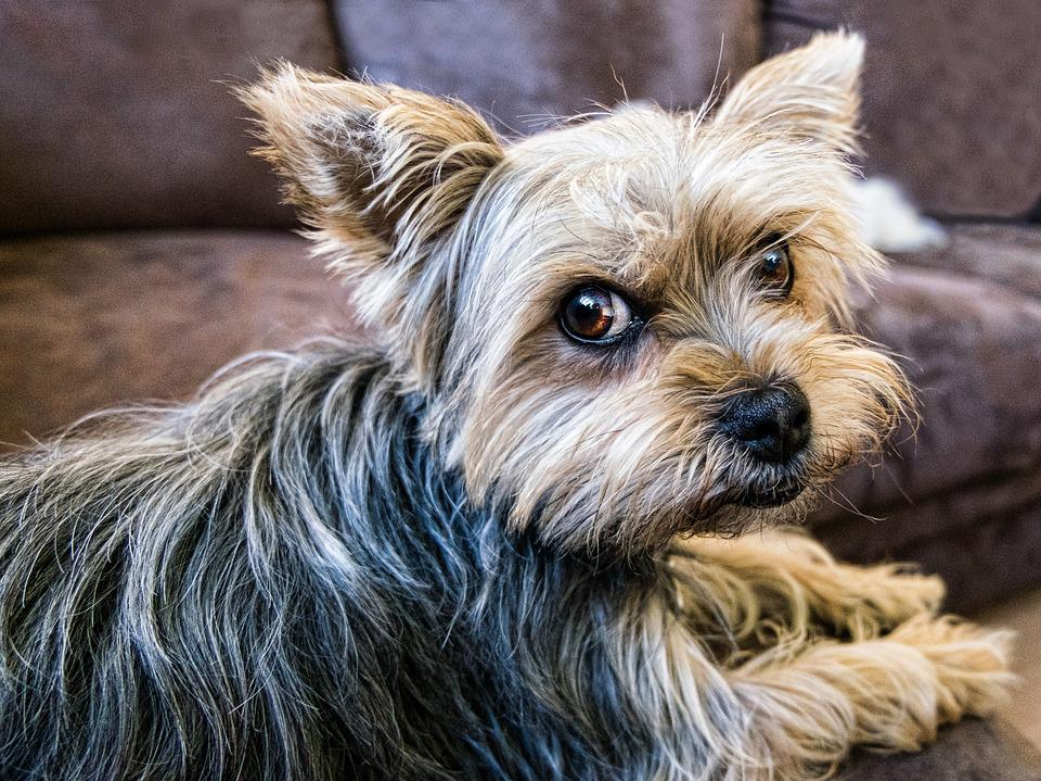 Dog, Pet, Yorkshire, Animal, Cute, Canine, Domestic