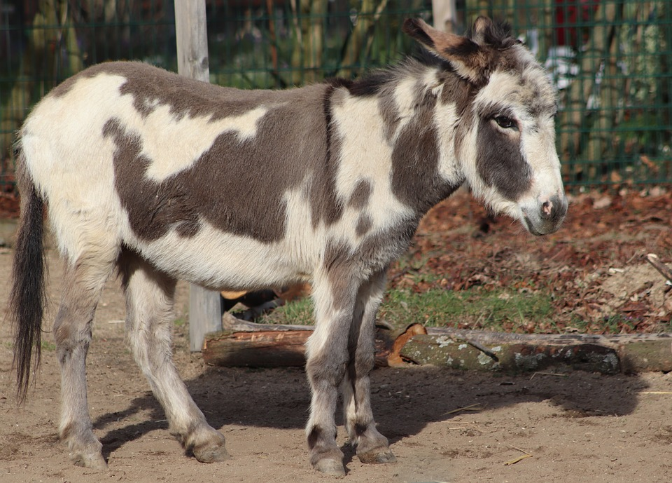 Donkey, Pet, Domestic Donkey, Ungulate, Patched