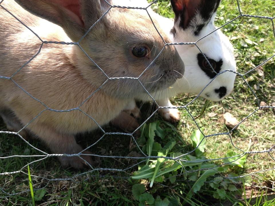 Rabbits, Farm, Bunny, Animal, Domestic, Easter