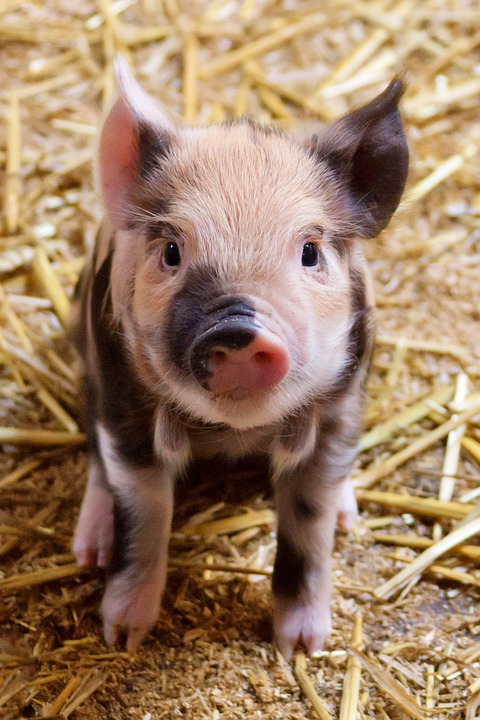 Agriculture, Animal, Baby, Cute, Domestic, Farm