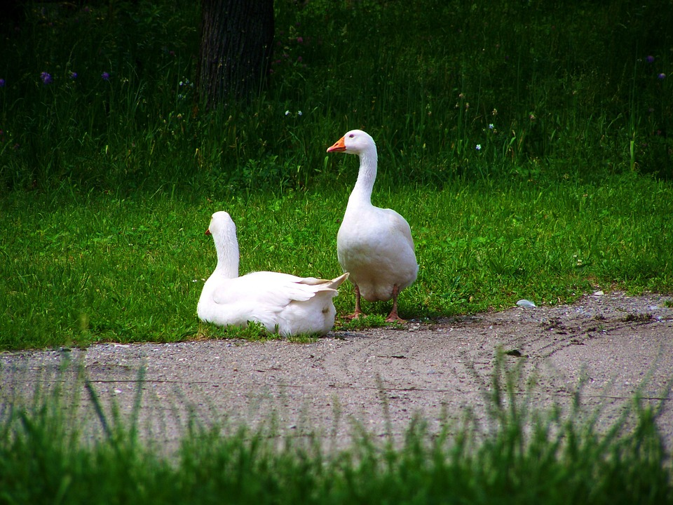 White Geese, Domestic Geese, Poultry