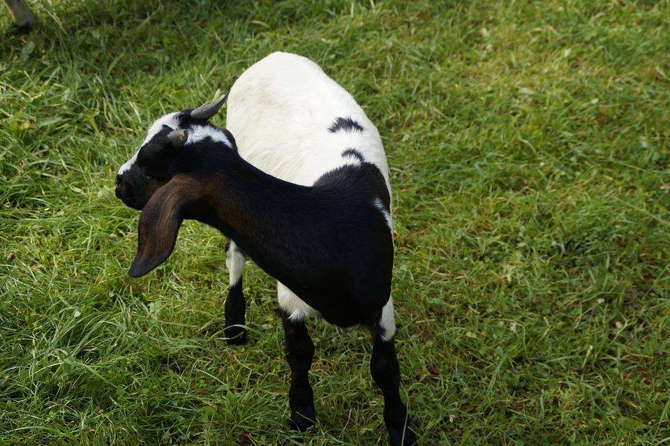 Goat, Kid, Pet, Farm, Domestic Goat, Animal, Cute
