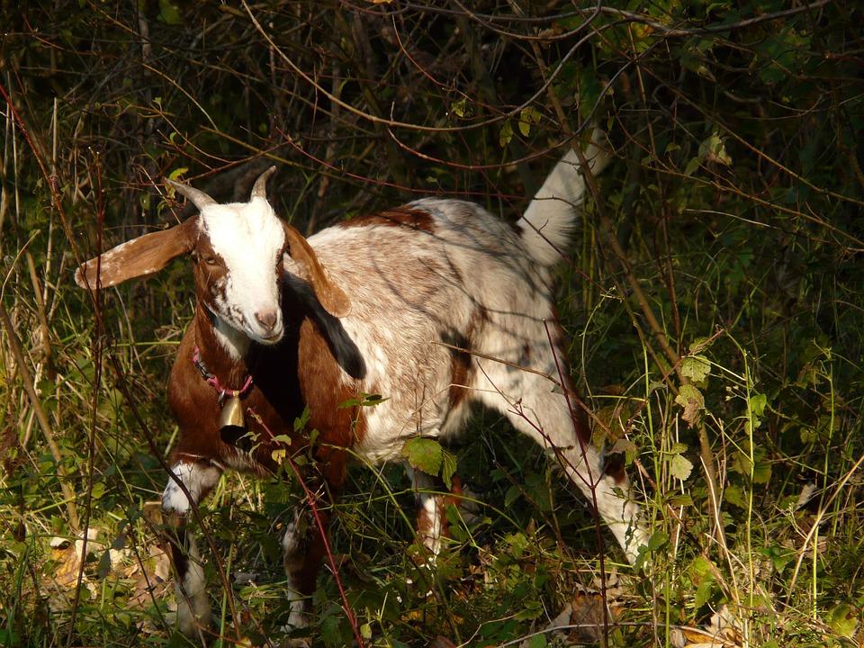 Domestic Goat, Capra Aegagrus Hircus, Goat, Animal