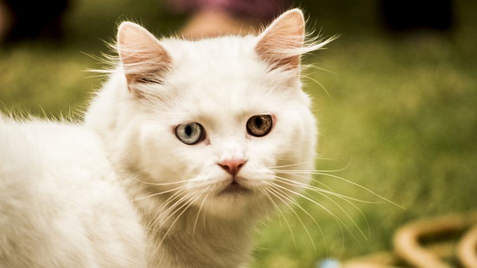 Cat, Pet, Animal, White, Domestic, Cute, Kitten