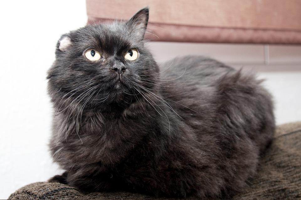 Cat, Black, Animal, Pet, Feline, Domestic, Eyes, Cute