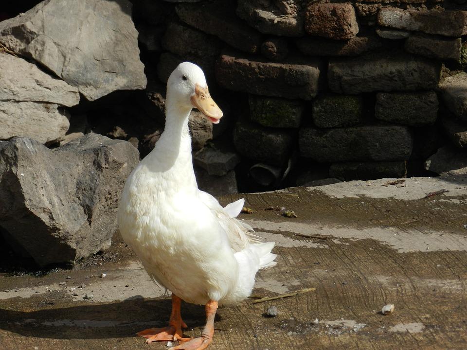 Duck, Domestic, Poultry, Flightless, Bird, Pet, White