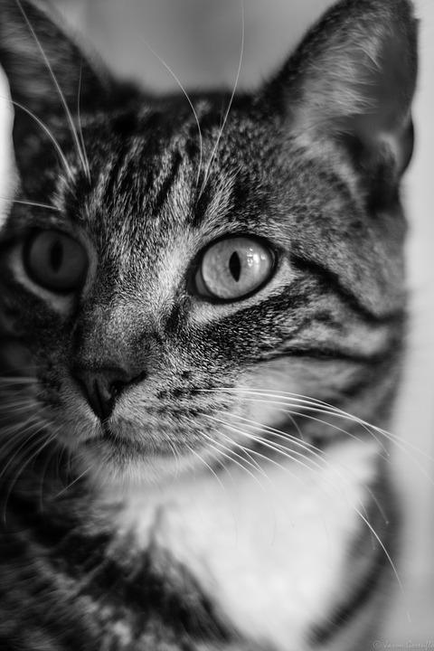Cat, Feline, Animal, Pet, Kitten, Kitty, Domestic, Fur