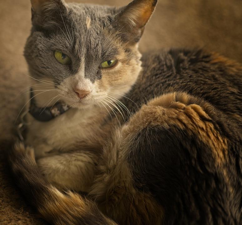 Cat, Domestic Short Hair, Portrait, Contentment, Fur