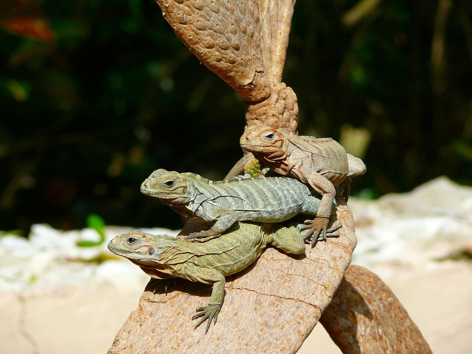 Iguanas, Tree, Animal, Exotic, Dominican, Republic