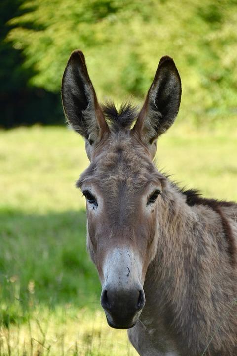 Donkey, Ass Gutter, Ass Croix Saint André, Equine