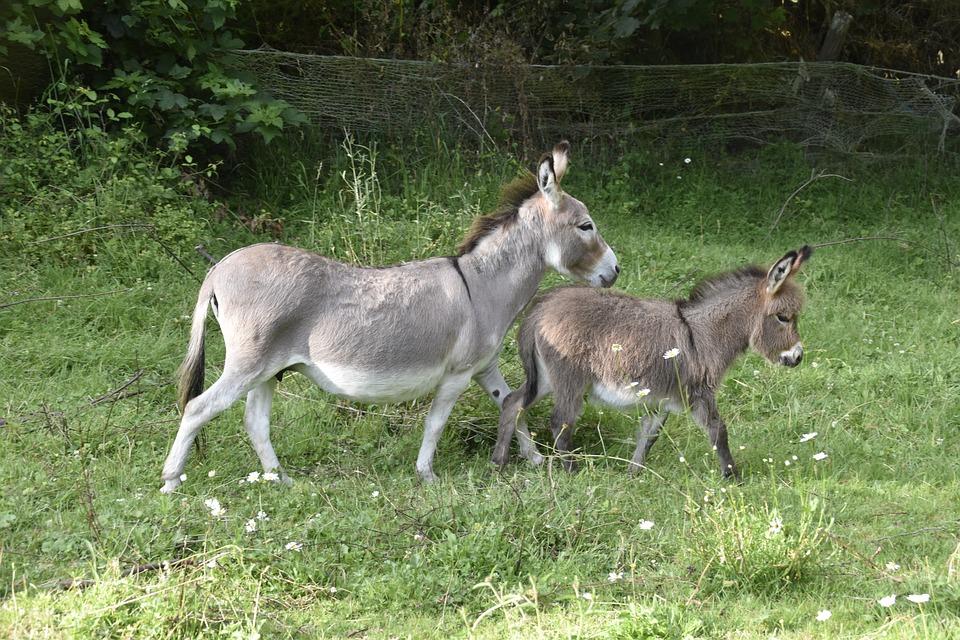 Donkeys, Donkey, Colt, Donkey Miniature