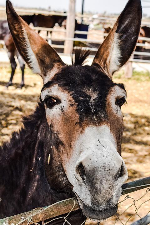 Donkey, Curious, Funny, Donkey Farm, Animal