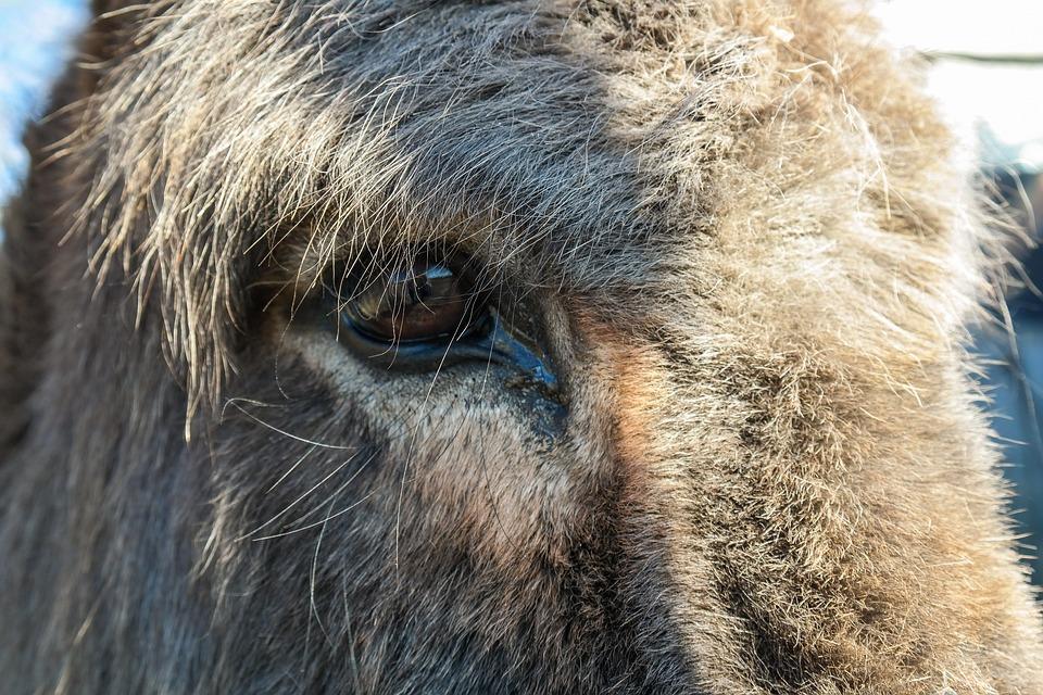 Donkey, Livestock, Animal, Donkey Head, Fur, Close Up
