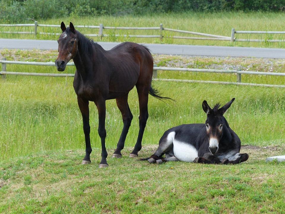 Horse, Donkey, Mammal, Animal, Farm, Nature, Domestic