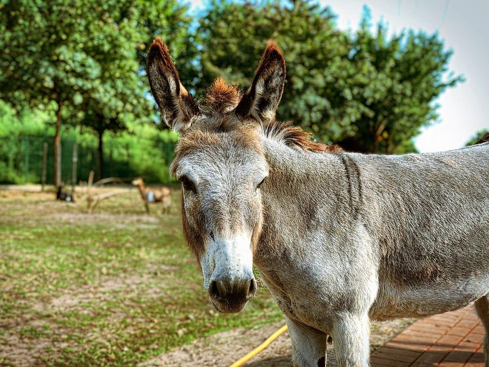 Donkey, Animal, Draft Horse, Nature, Livestock, Mule