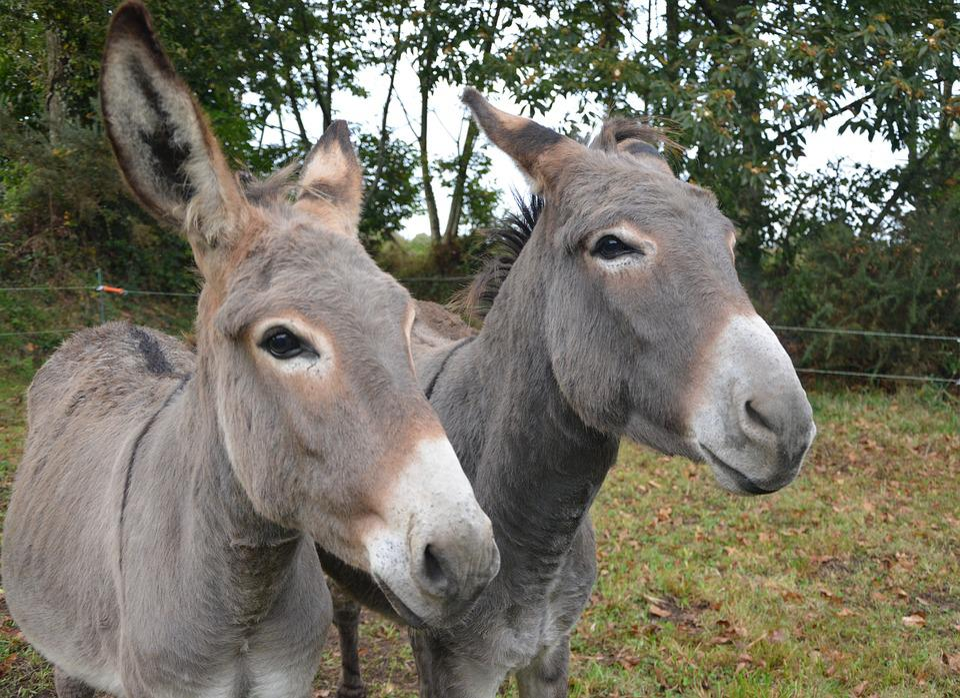 Donkeys, Croix Saint André, Color Grey, Long Ears, Grey