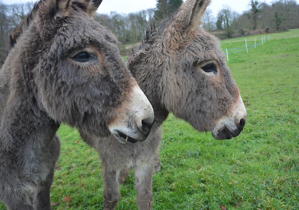 Donkeys, Equines, Donkeys Croix Saint André, Pet