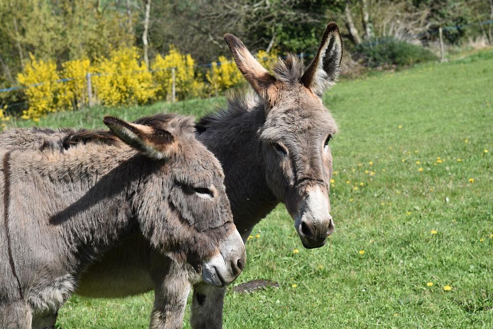 Donkeys Grey, Donkey Of The Cross Saint André