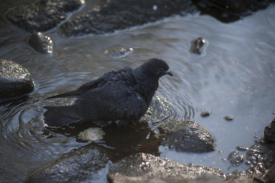 Dove, Black, Bird, Pigeon, Animal, Nature, Water, Mud