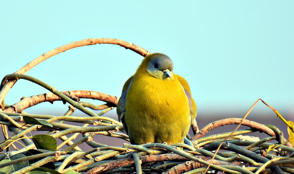 Nature, Bird, Wildlife, Animal, Wild, Dove, Yellow
