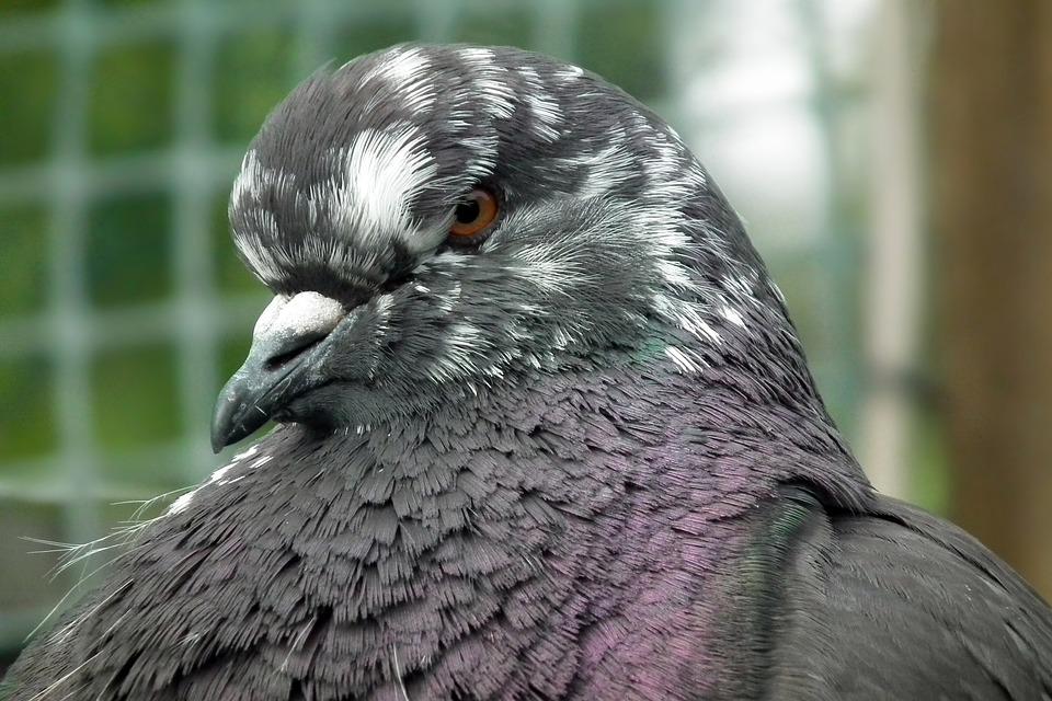 Birds, Dove, Mondain, Nature, Animals, Beak