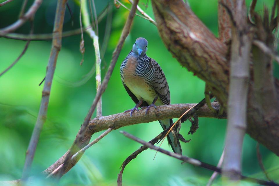 Dove, Birds, Animals, Nature