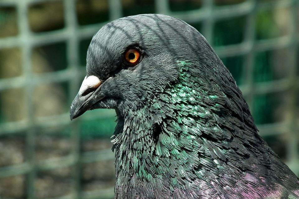 Dove, King, Birds, Nature, Pen, Animals