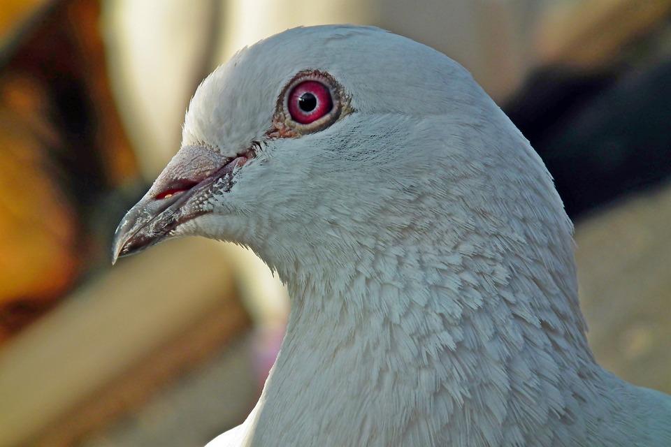 Dove, Bird, White, Young, Postal Codes, Pen, Nature