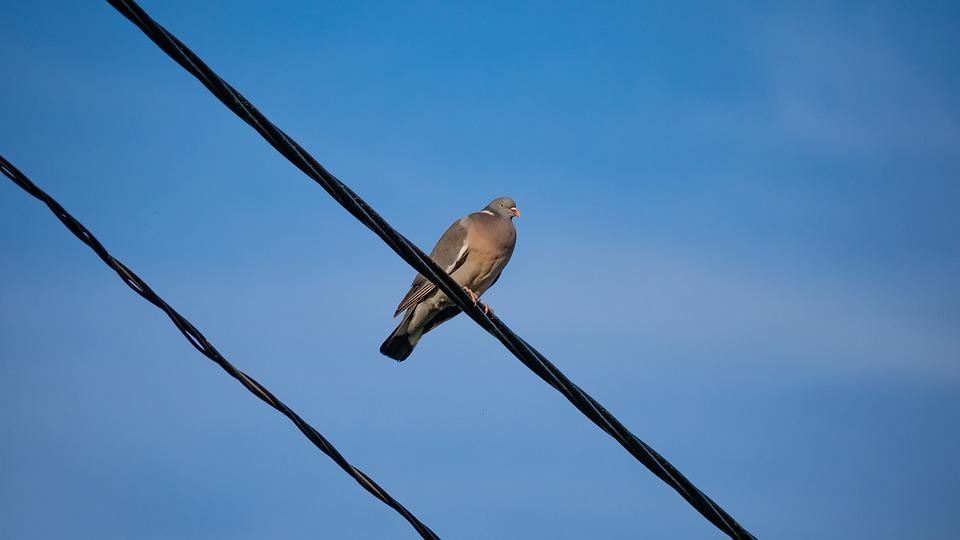 Wood Pigeon, Bird, Pigeon, Sitting, Plumage, Dove