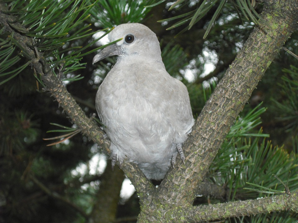 Birds, Dove, Animals