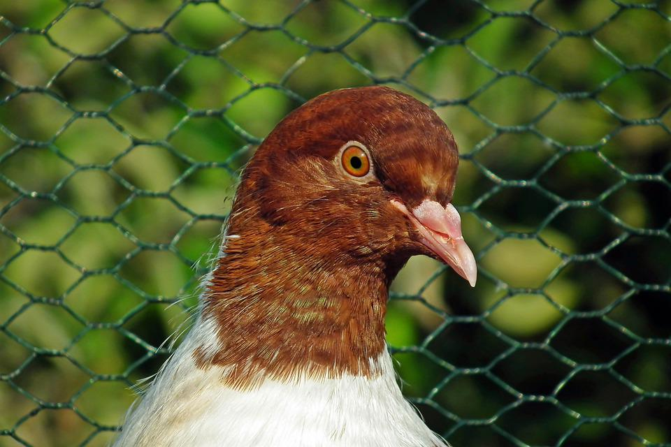 Dove, Bird, Aviary, Pen, Nature, Flight, Beak, Plumage