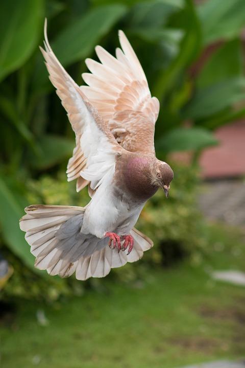 Dove, Bird, Fly, Animal, Wings