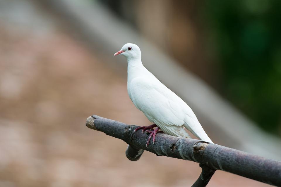 Dove, Bird, Animal, Wings, Feathers, Flying, Unity
